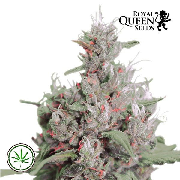 Royal Creamatic Royal Queen Seeds Canna Seed