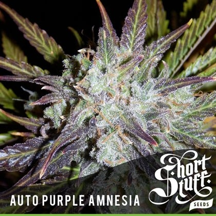 Auto Purple Amnesia fem