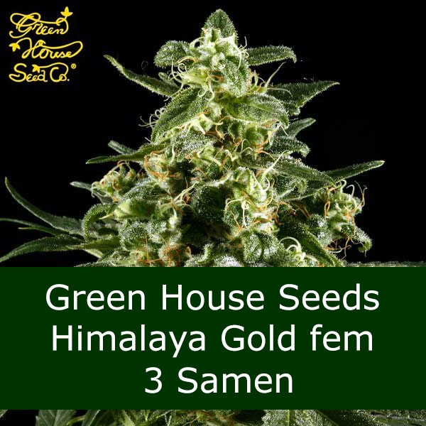 3 Seeds Himalaya Gold fem - GH Bonus