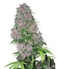 Purple Bud fem