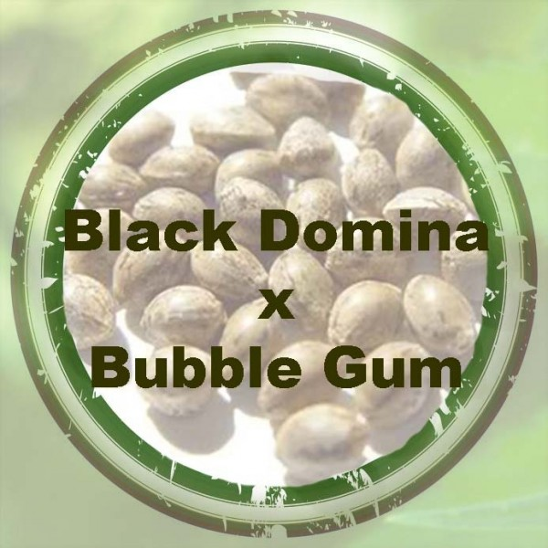 Black Domina x Bubble Gum